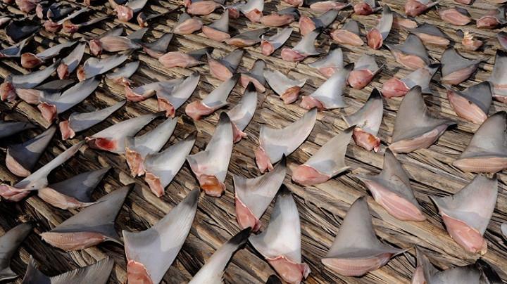 Картинки по запросу суп из акульих плавников