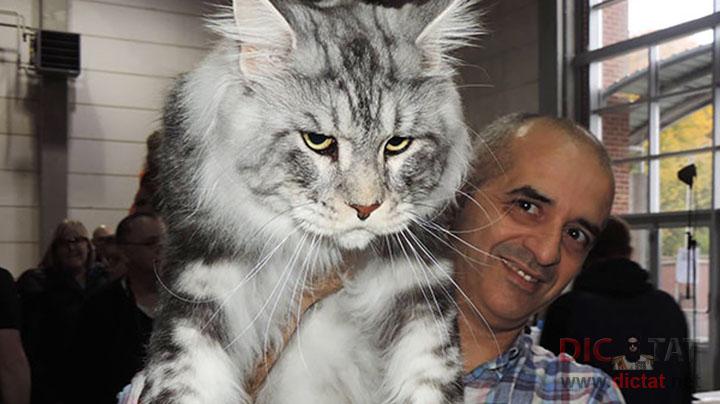 большая кошка мейн кун фото