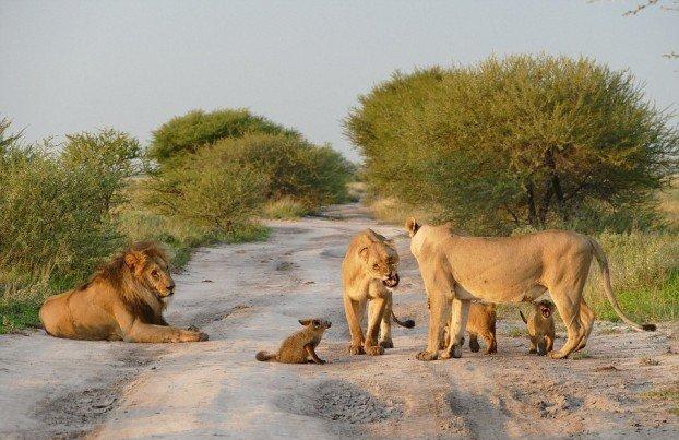 Лисеня пошкодило ногу і його помітили леви. Те, що сталося далі – неймовірно!